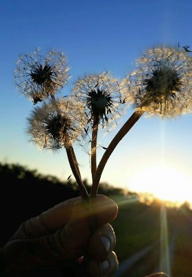 A hand holding four dandelion seed heads with blue skies and a setting sun in the background